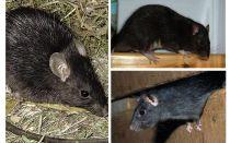 עכברושים שחורים
