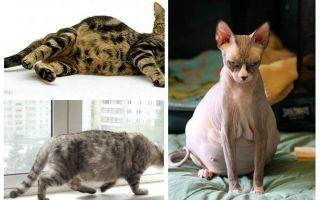 כיצד להסיר פרעושים מתוך חתול בהריון