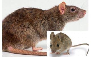 מה ההבדל בין עכבר לחולדה?