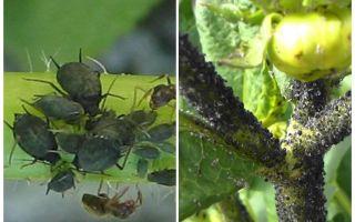 איך להתמודד עם כנימות שחורות על עגבניות ומלפפונים