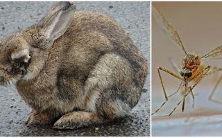 איך להציל ארנבות יתושים ברחוב ובארנבון