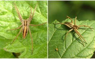 תיאור וצילומים של עכבישים באזור Saratov