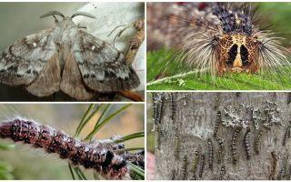 תיאור ותצלום של זחל ופרפר של תולעת המשי הסיבירית