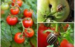 כיצד לעבד עגבניות מתוך חיפושית תפוחי אדמה קולורדו