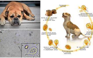 סימפטומים וטיפול בג'יארדיה אצל כלבים