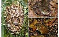 יער עכברים