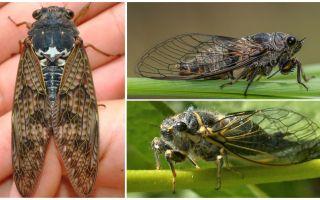 תיאור ותמונות של זבובים ציקדה