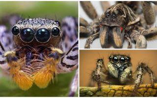כמה עיניים יש עכביש