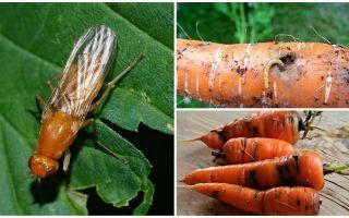 כיצד להיפטר זבובים גזר