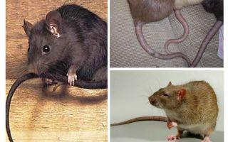 למה עכברים זנב