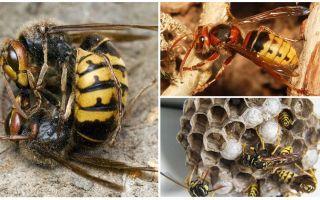 איך להתמודד עם hornets