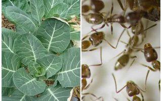 איך להציל כרוב מן הנמלים
