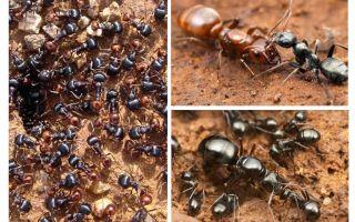 שלבי התפתחות הנמלים