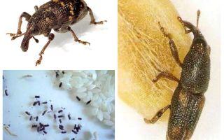 אורז weevil - מזיק זדוני של דגנים