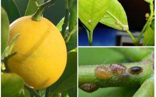 איך להתמודד עם המגן על לימון