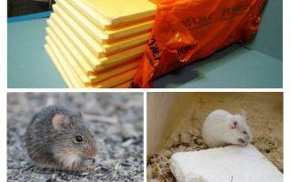 אם עכברים אוכלים penoplex