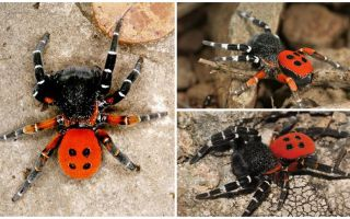 תיאור ותמונות של עכבישים בקרים