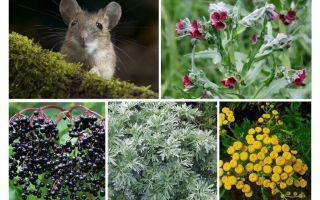 דשא מעכברים