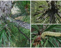 איך ומה לטפל אורן מ זחלים