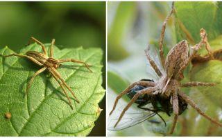 כמה עכבישים רגילים גרים בדירה ובטבע