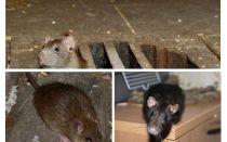 איך לתפוס עכברוש בבית