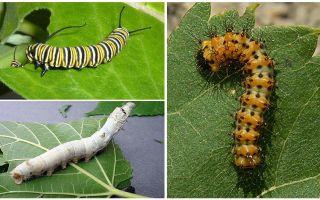 תיאור של זחלים, המזון והמבנה שלהם