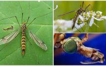 יתושים גדולים עם רגליים ארוכות (פחיות)