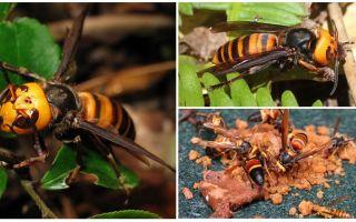 הגדול הורנטס: ענק אסיה Hornets שחור