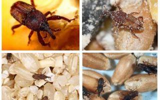 איך להתמודד עם weevil במטבח