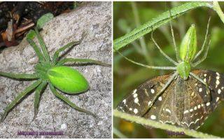 עכבישים ירוקים ברוסיה