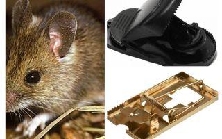 איך לשים מלכודת עכברים