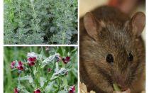 תרופות עממיות לעכברים