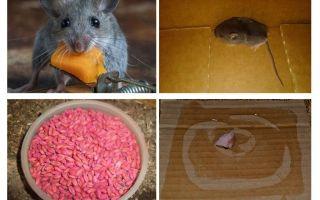 איך להוציא עכברים מהמוסך
