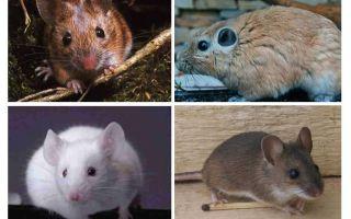 העכבר הגדול ביותר בעולם