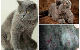 כיצד להסיר פרעושים מתוך חתול בריטי