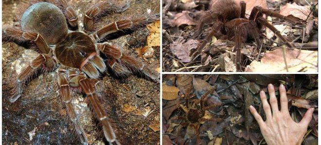 תיאור וצילום של עכביש ציפורים גוליית