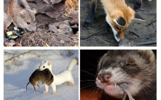 מי אוכל עכברים