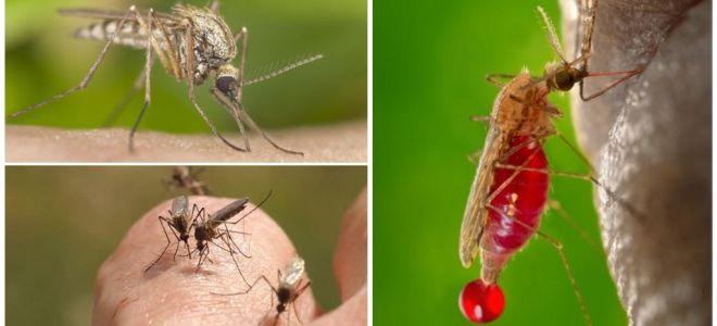 אנשים עם קבוצת הדם הם ננשך לרוב על ידי יתושים