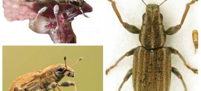 Nodule weevil - הדברה של קטניות
