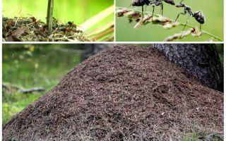 על איזה צד של הנמלים עץ יבנה אנתיל