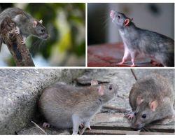 כמה שנים חיו עכברושים