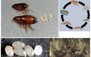 מחזור החיים של פרעוש, כמו ביצי פרעושים וזחלים