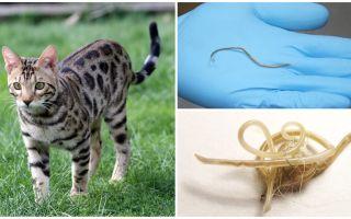 תסמינים וטיפול באסקריאזיס אצל חתולים