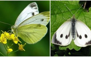 תיאור וצילומים של זחלים ופרחי כרוב