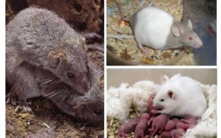 גידול עכברים