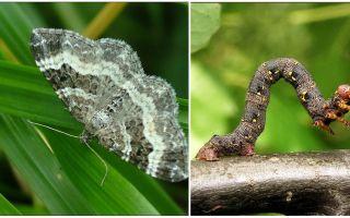 תיאור, שם ותמונה של סוגים שונים של זחלים