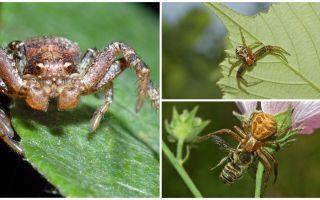 תיאור וצילום של עכביש סרטנים (בודהודה לא איזומטרי)
