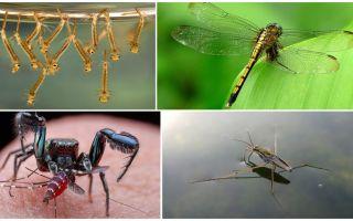 מי אוכל יתושים