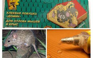 דבק מעכברים