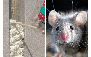 האם עכברים לאכול קצף